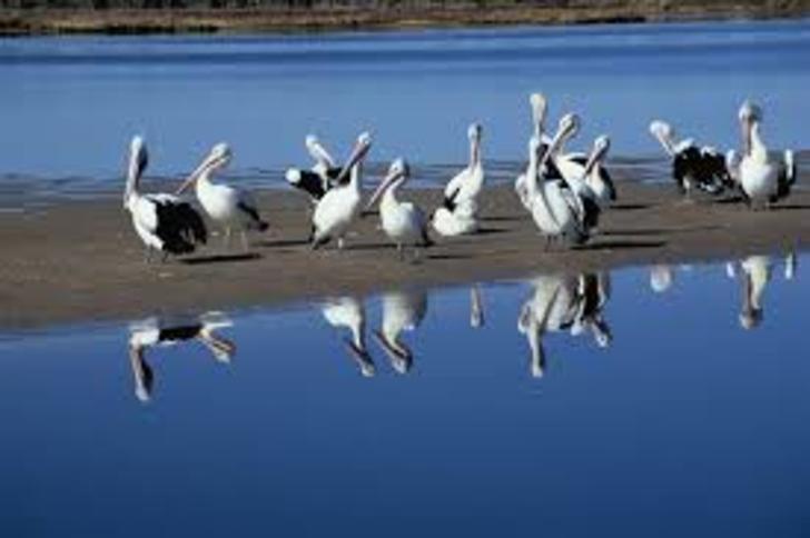 Pelicans 1530269483 primary